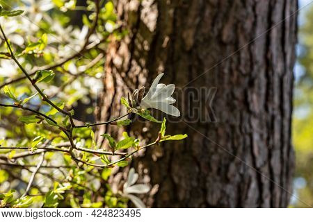White Magnolia Flower Blossoming At Pine Tree Background. Creamy Blossom Of White Magnolia Branch At