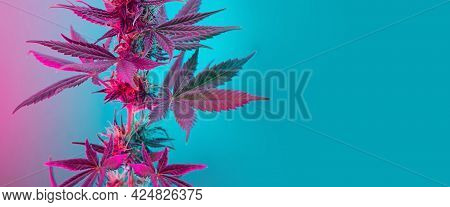 Cannabis Leaves Banner. Cannabis Marijuana Foliage With A Purple Pink Pastel Tint. Large Purple Leaf