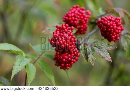 Elderberry, Or Elderberry, Is A Deciduous Woody Plant Known For Its Red Fruits And Its Characteristi