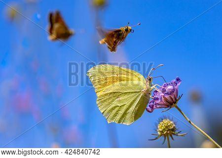 Cleopatra Butterfly (gonepteryx Cleopatra) Feeding On Nectar Of Flower. Wildlife Scene In Nature Of