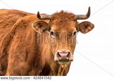 Sweet Cow Portrait Of Young Cattle With Horns On White Background