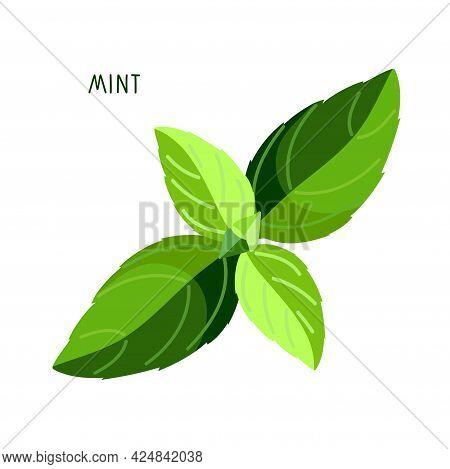 Mint. Upper Leaves Of Mint. Fresh Leaves Organic Vegetable Isolated On White Background. Overhead Vi