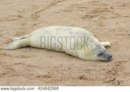 Grey Seal Pup On The Breeding Beaches In North Norfolk.