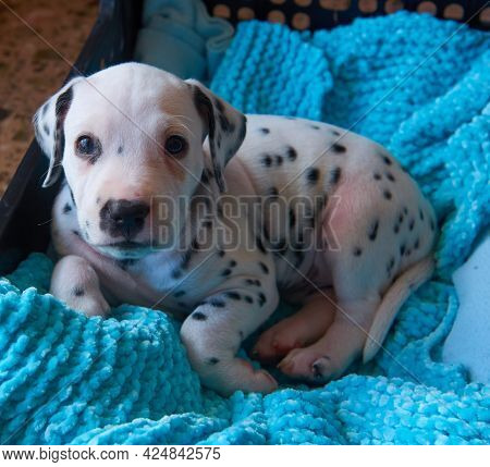 A Cute And Cuddly Dalmatian Dog Lying On His Bed