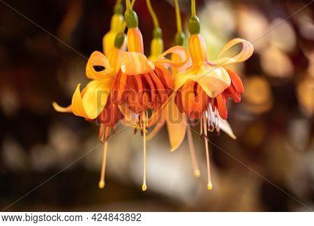 Several Hanging Fuchsia Hybrida Buds. Close Up.
