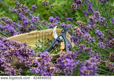 Seasonal Pruning Of Lavender. A Bunch Of Cut Lavender In A Wicker Basket And Pruning Shear Against A