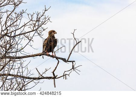 Juvenile bateleur eagle, Terathopius ecaudatus, perched on a tree in Kruger National Park, South Africa. Space for text.