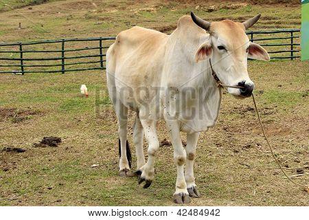 Five Legged Legs Cow