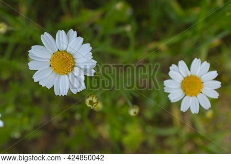 Cluster Of Wild White Daisies By The Roadside With Yellow Pollen