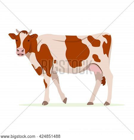 Farm Animals Concept. Cute Funny Farm Domestic Cow Red And White Patched Wool Breed Cattle. Adorable