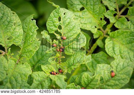 The Colorado Potato Beetle, Also Known As The Ten-lane Beetle, Ten-line Potato Beetle, Or Potato Bee