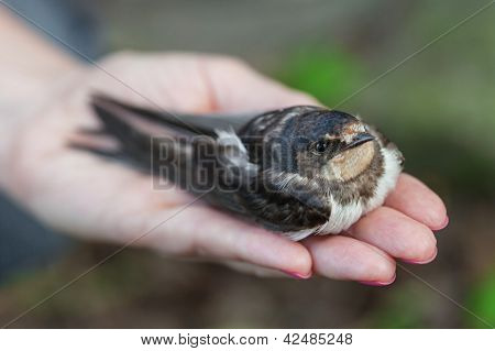 Swallow Sitting On A Palm