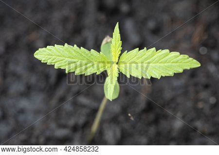 Marijuana Seed Natural Small Green Hemp Sprout Seedling, Cannabis Seeds On Soil Background, Close Up