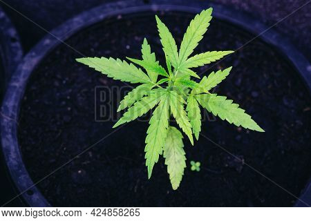 Marijuana Seed Natural Small Green Hemp Sprout Seedling, Cannabis Seeds In Pot, Close Up Of Planting