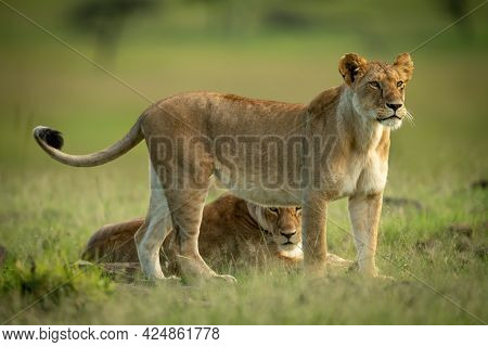 Lioness Stands Staring Beside Another Lying Down
