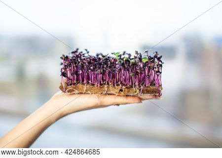 Micro-green Radish Sprouts In Your Hand. Sprouted Radish Seeds