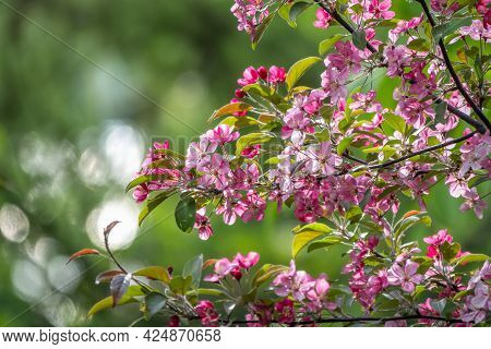 Fresh Pink Flowers Of A Blossoming Apple Tree With Blured Background