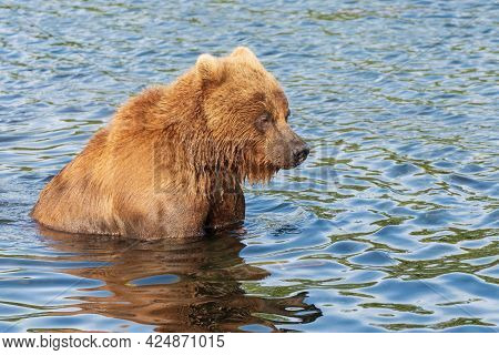 Terrible Kamchatka Brown Bear Standing In Water, Looking Around In Search Red Salmon Fish. Wild Beas