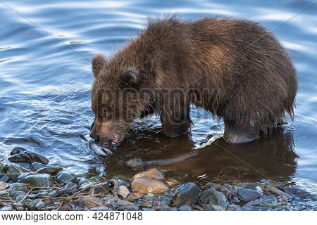 Cute Brown Bear Cub Eating Caught Red Salmon Fish Standing On River Bank. Wild Animal Child In Natur