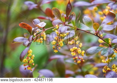 Bush Of Barberry In The Spring With Dark Red Leaves And Small Flowers. Bnches Of Bushes With Young R