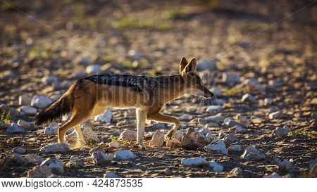 Black Backed Jackal Running Back Lit In Dry Land In Kgalagadi Transfrontier Park, South Africa ; Spe