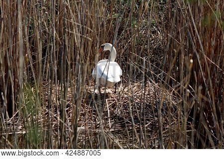 Careful Looking White Swan Standing On Top Of Large Nest Built On Side Of Local Lake Surrounded With