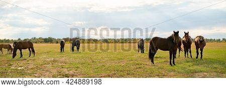 Panorama View Of Some Horses In The Field On Summer Day, Domestic Animals Concepts