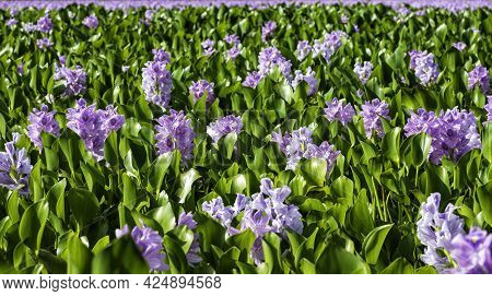 View Of A Field Of Blooming Water Hyacinths Growing In A Natural Swamp