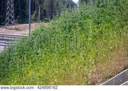 Thickets Of Marihuana On The Side Of The Road. Seeds Fall Into The Soil When Dumping Roadsides.