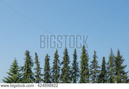 Top Of Fir Trees In Symmetrical Order Under Blue Sky