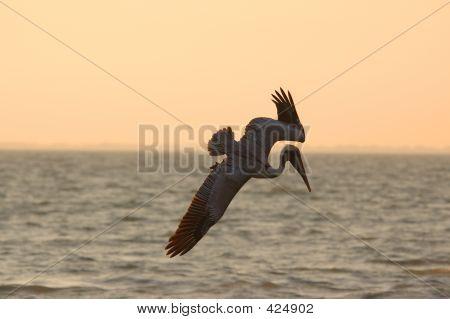 Diving Pelican Copy