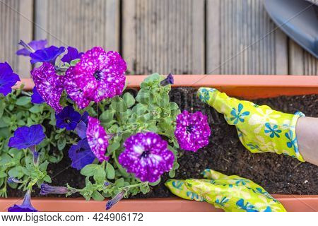 Female Hands Planting A Purple Flower In A Flowerpot. The Gardener Transplants The Plant . Gardening