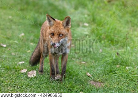 Fox - Vulpes In Forest. Beautiful Animal In The Nature Habitat. Wildlife Scene Of The Wild Nature.