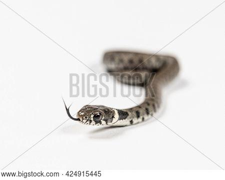Grass snake, Natrix natrix, Isolated on white