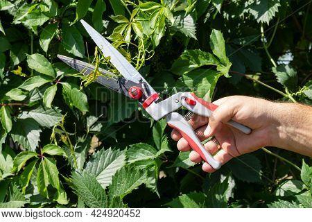 Gardener Pruning Green Ivy Branches With Secateur Or Pruner In Garden. Gardening Tool And Season Wor
