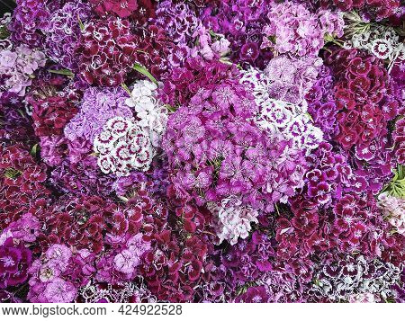 Multicolor Flowers Turkish Carnation Dianthus Barbatus. Floral Background Of Pink Burgundy And Lilac