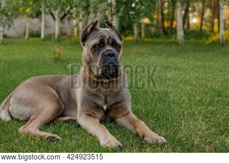 Portrait Of An Italian Cane Corso, Color Formentino. On The Green Lawn. Strong, Powerful Dog.