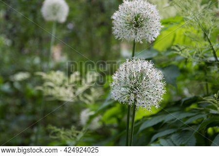 Allium Giganteum. Flower Close-up. Background, Texture. Large White Peduncles