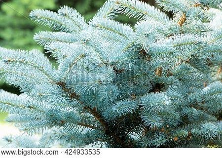 Blue Spruce. Branch Of Blue Spruce. Gardening.