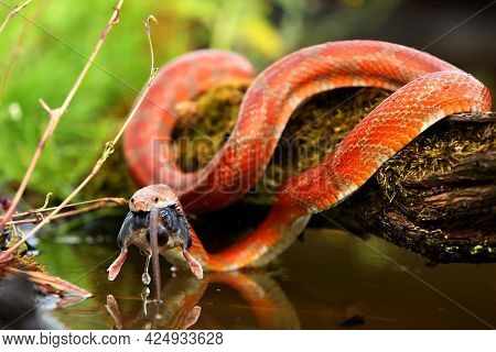 A Corn Snake (pantherophis Guttatus Or Elaphe Guttata) After Hunt Eating A Mouse Above The Water. A