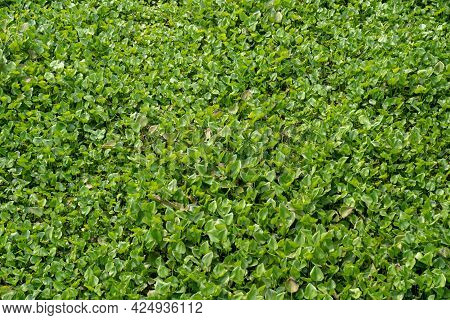 The Water Hyacinth Is Covering All The River And Obstructing Water Flow. That Is The One Of Water Po