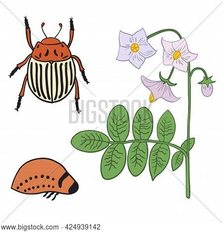 Set With Potato Beetle Imago, Larvae And Potato Flowers.
