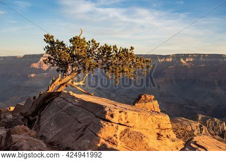 Gnarly Tree Leans Into The Morning Light In The Grand Canyon Along The South Kaibab Trail