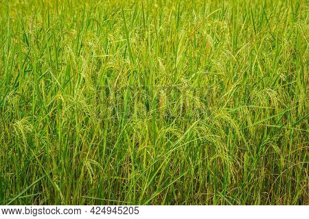 View Of Rice Paddy Field In Ghandruk Village In Annapurna Sanctuary, Nepal. Rice Is The Major Food A