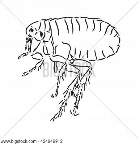 Vector Engraving Antique Illustration Of Flea Isolated On White Background