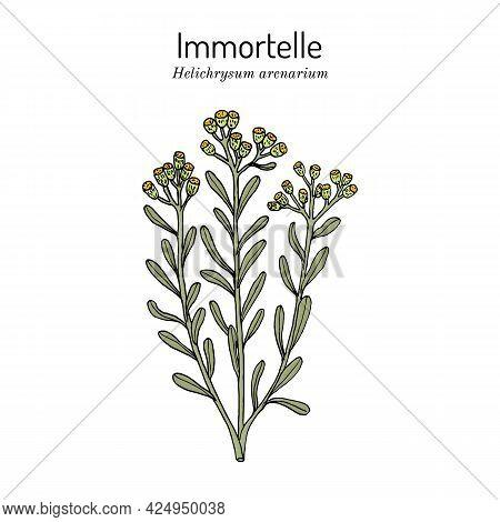Immortelle Helichrysum Arenarium, Or Dwarf Everlast , Medicinal Plant. Vector Illustration