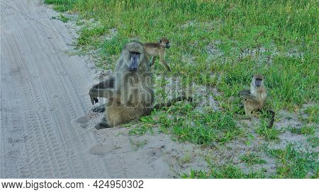 A Family Of Monkeys Sits On The Side Of A Dirt Road, In The Grass. A Baboon Mother Is Watching Two C