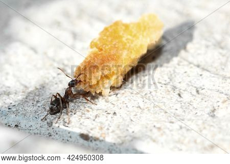 Macro Image Of An Ant Eating Bread. The Ant Carries Bread To The Nest.