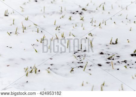 Wheat Field Is Covered With Snow In Winter. Winter Wheat Covered With Ice During Frost. Green Grass,