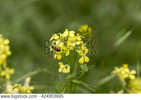 A Bee Collects Nectar On Yellow Rapeseed Flowers. Rapeseed Flowers Close Up During Flowering On A Bl
